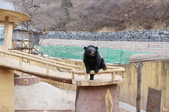 Bear at Badaling Great Wall