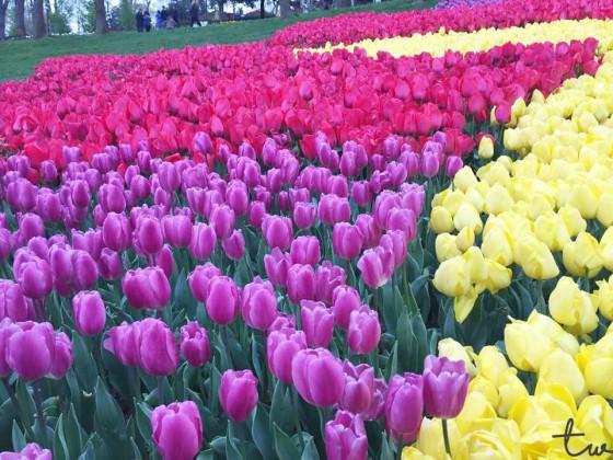 Tulip (Emirgan 2)