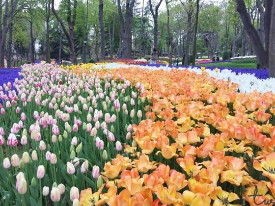 Tulip (Emirgan 5)