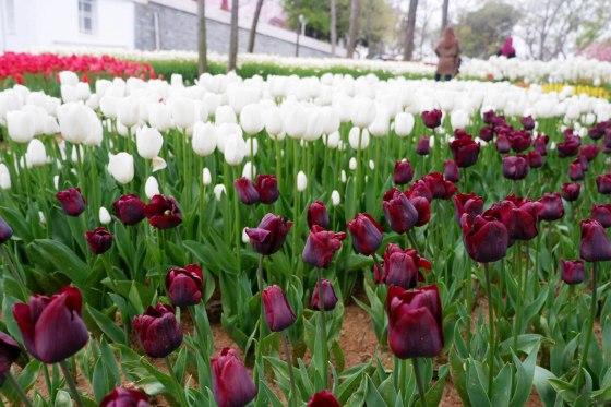 Tulip (Emirgan 6)