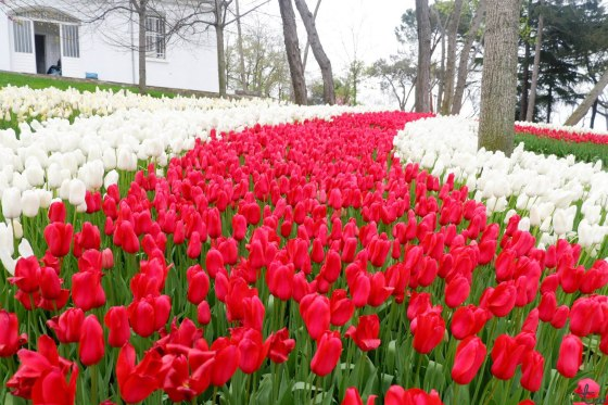Tulip (Emirgan 9)